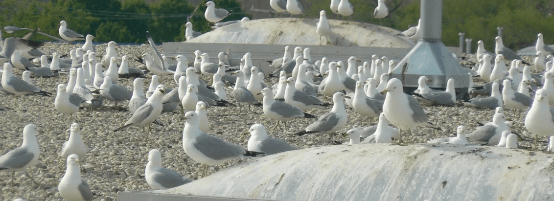 Gull Management Deterrence, Exclusion & Nest Management