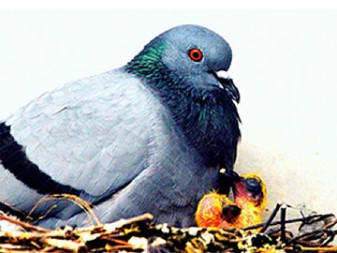 Why DIY Pigeon Control Doesn't Work